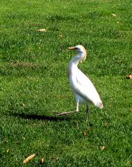 Kuhreiher #2 - Kuhreiher, Reiher, Bubulcus ibis, Schreitvogel, Vogel, weiß, orange, Schnabel, Federn, Gefieder