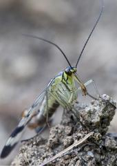 Skorpionfliege - Insekt, Skorpionfliege, Fliege