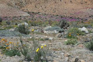 Blühende Wüste - Chile, Atacamawüste, Vegetation, Pflanzen, Trockenheit
