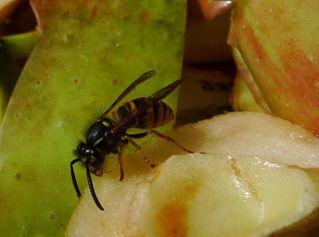 Wespe #1 - Wespe, Insekt, Hautflügler, Vespula germanica, Faltenwespe