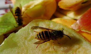 Wespe #2 - Wespe, Insekt, Hautflügler, Vespula germanica, Faltenwespe