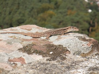 Eidechse - Eidechse, Echse, Reptilien, Naturschutz
