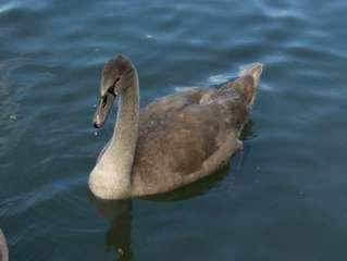 Junger Schwan - Schwan, Tiere, Vögel, jung, Wassertiere, schwimmen