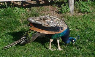 Pfau - Fasanenartige, Hühnervogel, Pfau, blau, grün, bunt, Federn, Ziervogel, glänzend, Schmuck, schillernd, Schwanzfedern, Haustier, Pfau, Schmuck, Gefieder, Männchen
