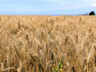Roggenfeld - Secale cereale, Roggen, Getreide, Getreideart, Sommergetreide, Wintergetreide, Granne, Korn, Ähre, Süßgras, Speltze, Brotgetreide, Alkoholherstellung