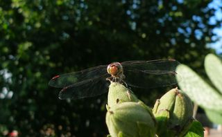 Libelle - Insekten, Libelle, Flügel, Hautflügel, Gliederfüßler, Insekt, Flügelpaar