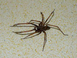Hausspinne - Spinne, Schreibanlass, Gliederfüßer, Spinnentiere, Häutungstiere, krabbeln, acht, Beine, haarig, Haare, Hausspinne, Winkelspinne