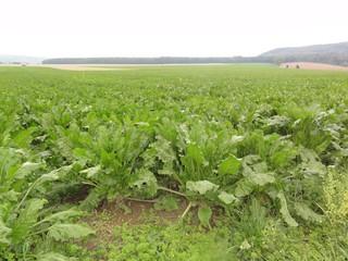 Zuckerrübe1 - Rübe, Zucker, Zuckerrübe, Zuckerpflanze, Beta vulgaris, Fuchsschwanzgewächs, Kulturpflanze, Feld, Futterpflanze
