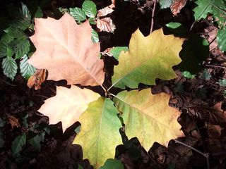 Herbstblätter - Herbst, Blatt, Herbstlaub, Herbstfärbung, bunt, Eiche, Quercus rubra