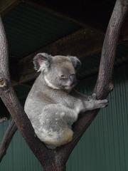 Koala#1 - Beuteltier, Beutelbär, Koala, grau, Fell, Baum, Eukalyptus, Natur, Freiheit, Wildtier, Australien, Einzelgänger
