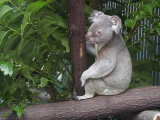 Koala#2 - Beuteltier, Beutelbär, Koala, grau, Fell, Baum, Eukalyptus, Natur, Freiheit, Wildtier, Australien, Einzelgänger