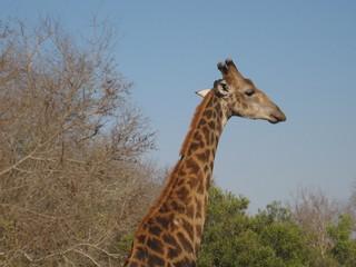 Giraffe - Giraffe, Afrika, Hals, Netzgiraffe, Paarhufer, Kopf, Tarnung, Camouflage