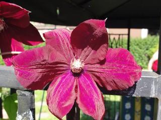 Clematis - Clematis, Blume, Blüte, lila, Kletterpflanze, Waldrebe, Hahnenfußgewächs, blühen, violett, purpur, lila, rot