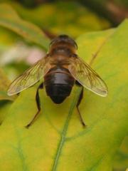Schwebfliege von hinten - Insekt, Körper, Körperteile, Flügel, Flügelpaar, Hinterleib, Hinterteil, Beine, Fußglieder, hinten, Rückansicht, Hautflügler, Detail