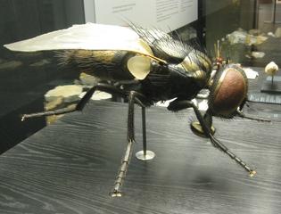 Stubenfliege Seitenansicht - Stubenfliege, Fliege, Insekten, Facettenaugen