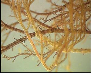 Alge (Polysiphonia violacea) - Algen, Ostsee, Alge, Polysiphonia violacea, Meer