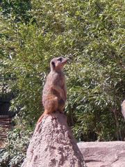 Erdmännchen bei der Wache - Erdmännchen, Raubtier, Katzenartige, Manguste, suricata suricatta, Wächter, Wache, Zoo, sitzen, aufpassen, aufmerksam