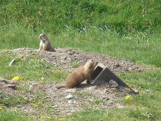 Präriehunde - Präriehund, Nagetiere, Hörnchen, Erdhörnchen, Prärie, Zoo, bellen