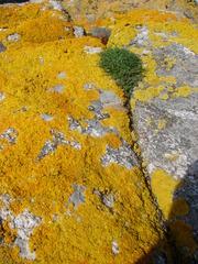 Flechten  - Flechte, Flechten, Lichen, Stein, Pilz, Symbiose, Grünalgen, Cyanobakterien