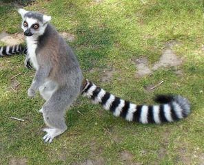 Lemur: aufgerichtet - Katta, Primat, Lemur, Affe, Maki, Madagaskar, Allesfresser, Feuchtnasenaffe, schwarz-weiß, gestreift
