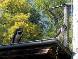 Schwarzstorch #1 - Schwarzstorch, Zugvogel, Ciconia, Storch, Federn, schwarz, Schnabel, klappern, Wiese, schreiten, gehen, Schreitvogel