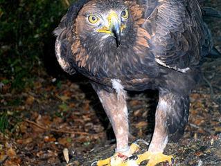 Adler #2 - Adler, Greifvogel, Wappentier, Federn, Federkleid, schwarz, braun, Augen, Schnabel, scharf