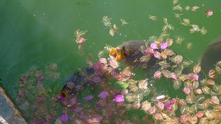 Karpfen  - Karpfen, Fisch, Fischmaul, Weissfisch, schnappen, Süßwasserfisch