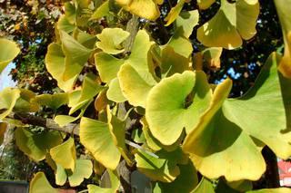Ginkgo#1 - Ginkgo, Ginko, Silberpflaume, Fächerblattbaum, Fächerbaum, Blatt Herbst, Färbung, Laub, Baum, Natur, gelb, grün, Fächer