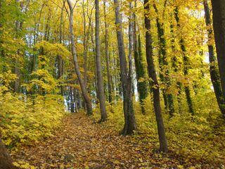 Goldener Herbst#3 - Herbst, Gold, Mischwald, Bäume, Laub, Herbstspaziergang, Impressionen, Stimmung