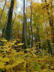 Goldener Herbst#4 - Mischwald, Herbst, Sonne, sonnig, Stimmung, Impression, Bäume