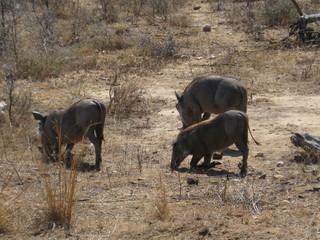Warzenschweine - Afrika, Tiere, Warzenschwein, Warzenschweine, Savanne, Allesfresser, Phacochoerus africanus