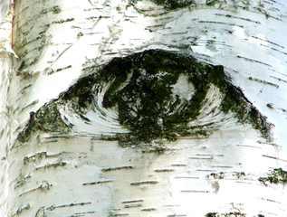 Birkenrinde - Birke, Rinde, Auge, weiß, Meditation, Schreibanlass
