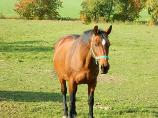 Pferd - Pferd, Haustier, Nutztier, Reittier, Huftier, braun, Koppel