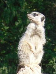 Erdmännchen#1 - Erdmännchen, Raubtier, Katzenartige, Manguste, suricata suricatta, Wächter, Wache, sitzen, aufpassen, aufmerksam