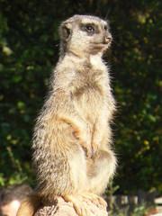 Erdmännchen#2 - Erdmännchen, Raubtier, Katzenartige, Manguste, suricata suricatta, Wächter, Wache, sitzen, aufpassen, aufmerksam