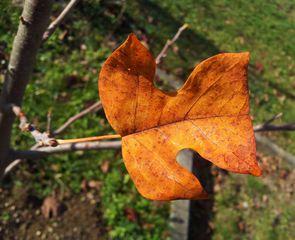 Herbstblatt - Herbst, Blatt, Färbung, Laub, Tulpenbaum