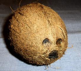 Kokosnuss #3 - Kokosnuss, Kokospalme, Frucht, Steinfrucht, Schale, Fasern, Keimloch, Keimlöcher, Gesicht, Tropen