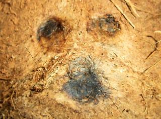 Was ist das#Pflanzen  - Kokosnuss, Frucht, Steinfrucht, Schale Fasern, Keimloch, Keimlöcher, Gesicht