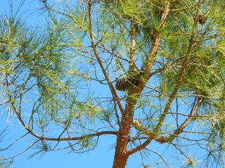 Pinie#2 - Pinie, Kieferngewächse, Kiefer, Koniferen, Zapfen, Samen, Mittelmeerraum