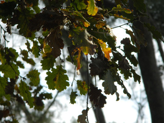 Eichenlaub - Eiche, Natur, Baum, Laubbaum, Blatt, Blätter, Buchengewächse, Herbst