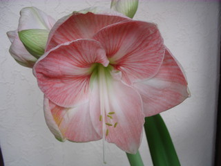 Amaryllisblüte - Zimmerblume, Zwiebelgewächs, Amaryllis, Blüte, blühen, Blütenblatt, Zwiebelpflanze, Ritterstern, Staubblätter, Staubfaden, Staubgefäß, Staubgefäße, Stempel