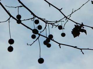 Platane#3 Früchte im Gegenlicht - Platane, Laubbaum, Platanengewächse, Frucht, Früchte, Nüsse, Kugel, rund, kugelrund, Zweige, Äste