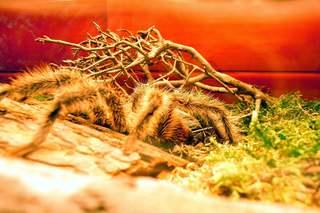 Vogelspinne - Spinne, Vogelspinne, Gliederfüßer, Achtfüßer, Laufbeine, behaart