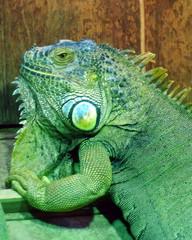 Grüner Leguan#1 - grün, Leguan, Reptil, Schuppenkriechtier, Kriechtier, baumbewohnend, exotisch, schuppig, tagaktiv, Terrarienhaltung, Höcker, Schuppen