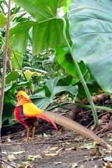 Goldfasan - Goldfasan, männlich, bunt, exotisch, Vogel, wild