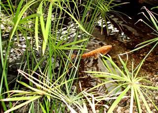 schwimmender Koi-Karpfen  - bunt, orange, Karpfen, Koi, Zucht, Zuchtform, farbig, schwimmen, Fisch