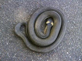 Ringelnatter#1 - Ringelnatter, Natter, Schlange, Kriechtier, Reptil, ungiftig, ungefährlich, eingeringelt, aufgescheucht