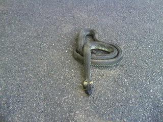 Ringelnatter#3 - Ringelnatter, Natter, Schlange, Kriechtier, Reptil, ungiftig, ungefährlich, eingeringelt, aufgescheucht