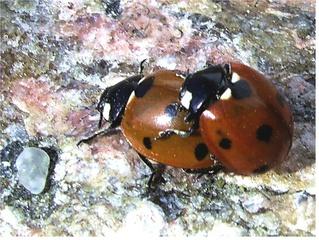 (Marien-) Käferliebe - Marienkäfer, Käfer, Insekten, Glück, Symbol, Coccinellidae, Rot, Käferliebe, Nützling, Fortpflanzung, Kopulation, Paarung