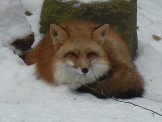 Fuchs im Schnee - Fuchs, Wildtier, Wildhund, rot, Winter, Schnee, schlafend